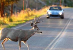 Калужских автомобилистов предупреждают о бросающихся под колёса косулях