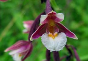 В Калужской области пристально следят за популяцией краснокнижной орхидеи